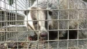 Badger cruelty - Peta