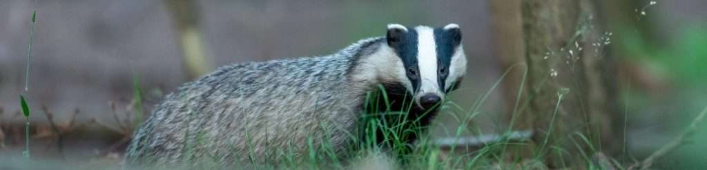 are badgers killed for shaving brushes?
