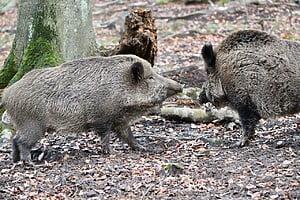 How is boar hair harvested?